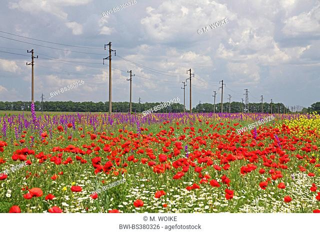 Common poppy, Corn poppy, Red poppy (Papaver rhoeas), arable field with Common poppy and rocket larkspur, Bulgaria, Balchik