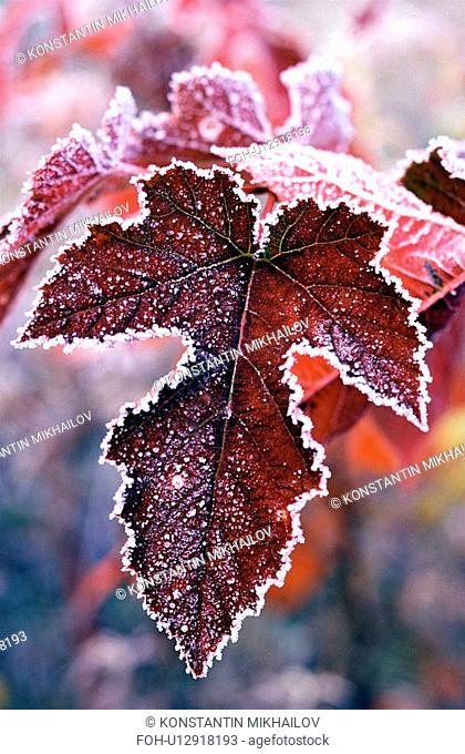 East Siberia, Eatern Siberia, Siberia, autumn, close-up, fall