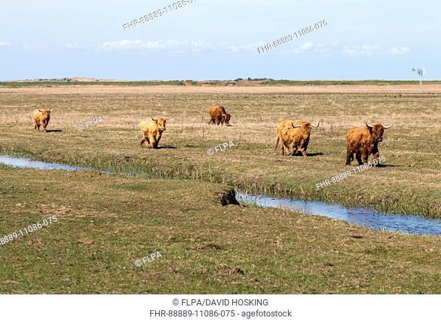 Highland cows graze on Deepdale Marsh, Norfolk