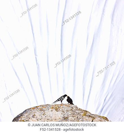 Alpine Chough (Pyrrhocorax graculus), Fuente Dé, Picos de Europa, Cantabria, Spain