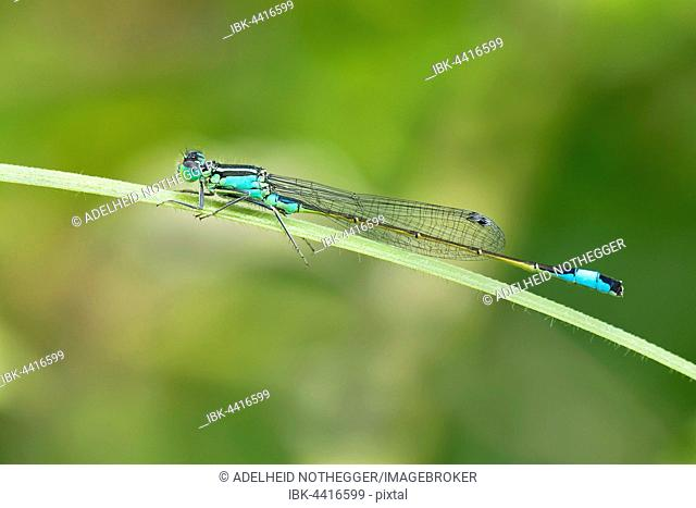 Blue-tailed damselfly (Ischnura elegans), Burgenland, Austria
