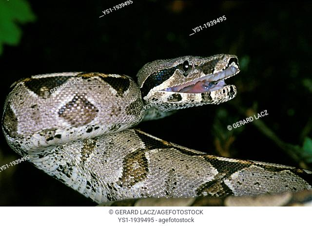 Boa Constrictor, boa constrictor, Adult in Defensive Posture