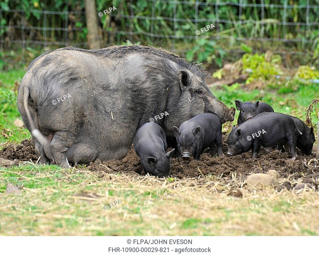 Domestic Pig, Vietnamese Pot-bellied Pig, sow with piglets, foraging in paddock, England, july