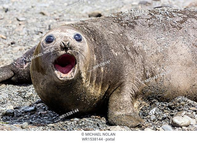 Southern elephant seal (Mirounga leonina) adult female calling, Prion Island, South Georgia, UK Overseas Protectorate, Polar Regions