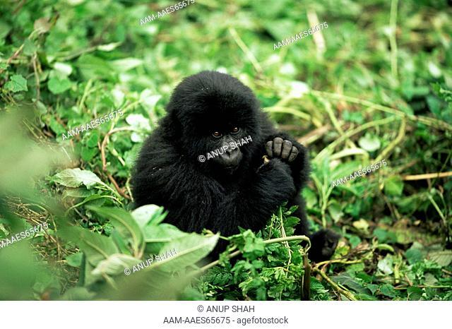 Young Mountain Gorilla portrait (Gorilla gorilla beringei) Parc des Volcans National Park, Rwanda