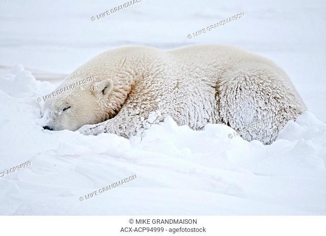 Polar bear Ursus maritimus lying on frozen tundra, Churchill, Manitoba, Canada