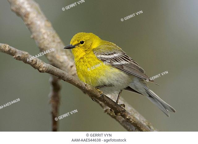 Adult male Pine Warbler (Dendroica pinus) in breeding plumage. Tompkins County, New York. May
