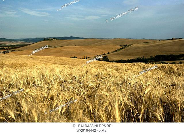 Italy,Tuscany, in Val D'Orcia, Siena Province, wheat field
