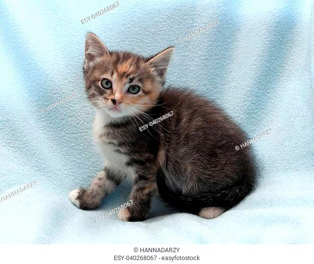 Sitting tricolor kitten with green eyes