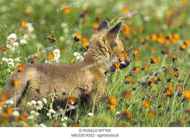 Flower meadow, Rotfuchs, Vulpes vulpes,  Young, view from behind,   Nature, fauna, animal, mammal, wild animal, carnivore, fox, young, puppy, animal child