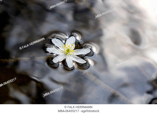 White blossom of a wood anemone floats in the water, close up, anemone nemorosa