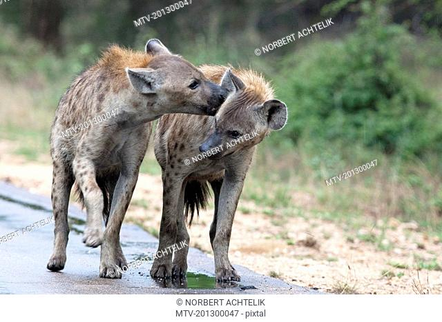 Two spotted hyenas standing on road, South Africa