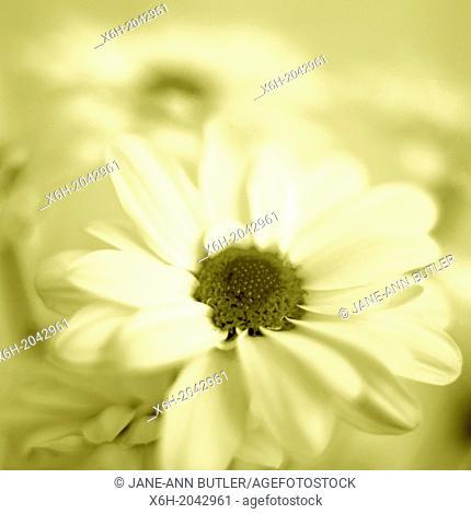 feminine chrysanthemum in duotone