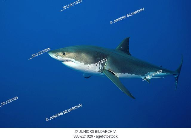 Great White Shark (Carcharodon carcharias). Adult swimming. South Africa