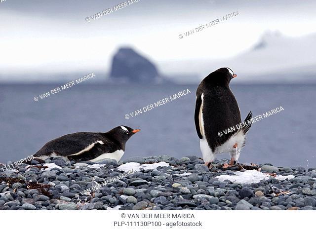 Gentoo Penguins Pygoscelis papua on beach at Yankee Harbour, South Shetland Islands, Antarctica