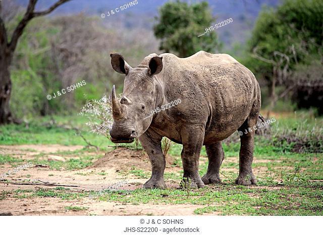White Rhinoceros, Square-Lipped Rhinoceros, (Ceratotherium simum), adult feeding, Hluhluwe Umfolozi Nationalpark, Hluhluwe iMfolozi Nationalpark, KwaZulu Natal