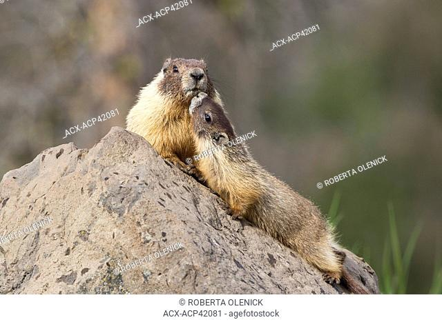 Yellow-bellied marmot Marmota flaviventris, adult and pup, near Tunkwa Provincial Park, British Columbia, Canada