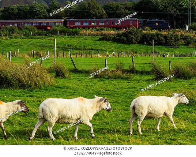 UK, Scotland, Fort William, Sheeps and the The Jacobite Steam Locomotive
