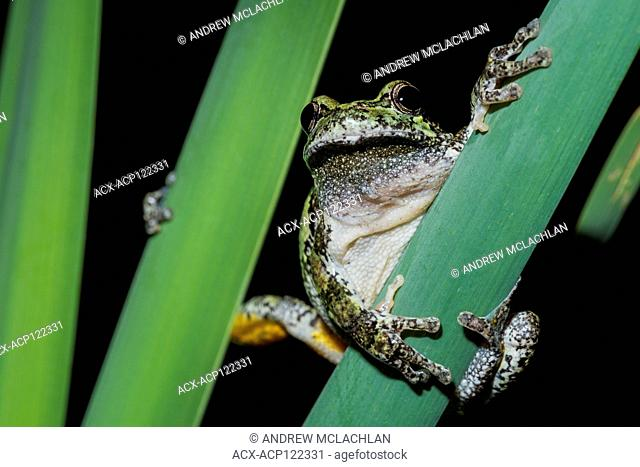 Gray Tree Frog (Hyla versicolor) near Barrie, Ontario, Canada