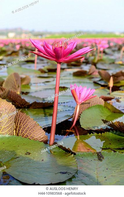 Red Indian water lily