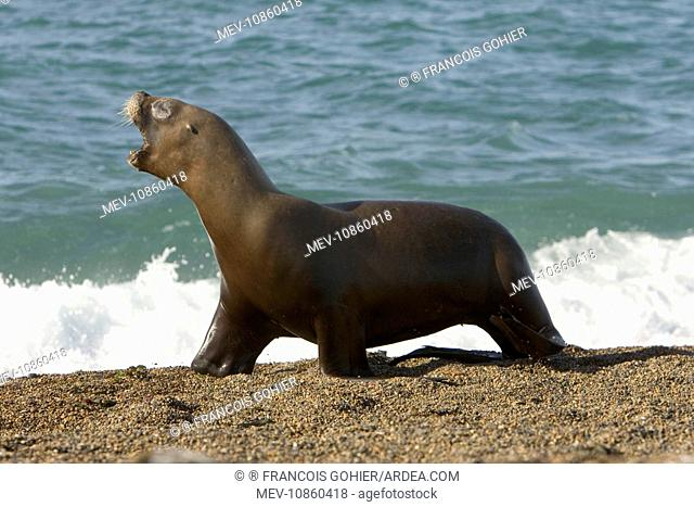 South American / Southern / Patagonian Sealion - This adult female sealion was swimming along the shore and was chased by killer whales / Orcas (Otaria...