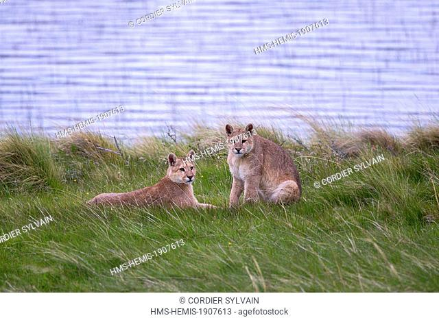 Chile, Patagonia, Magellan Region, Torres del Paine National Park, cougar (Puma concolor), also known as the mountain lion, one year old
