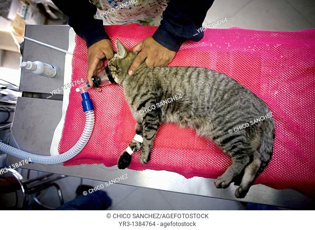 A sedated cat lies on the emergency room table before an operation at a Pet Hospital in Condesa, Mexico City, Mexico, February 2, 2011