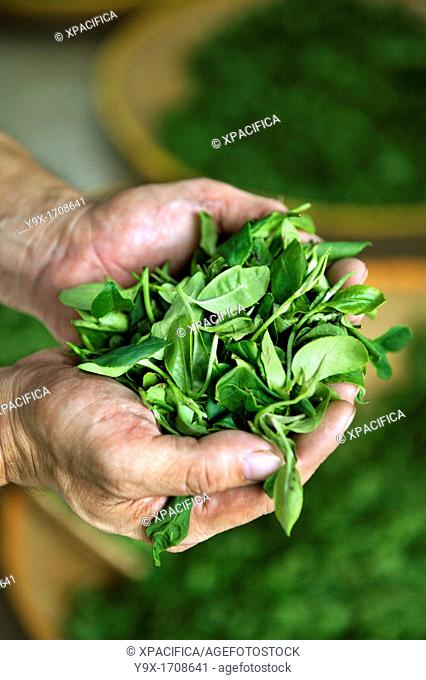 A handfuk of freshly picked Camellia sinensis leaves used in the production of green tea
