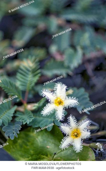 Water Snowflake, two white flowers with yellow centres and feathery edges to the petals. Leaves of Giant Water Sensitive Plant, Aeschynomene fluitans behind