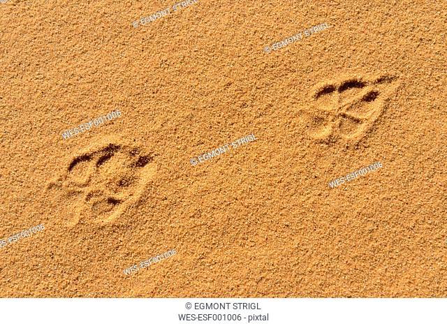 Algeria, Tassili n Ajjer, Sahara, fresh track of a Golden Jackal (Canis aureus)