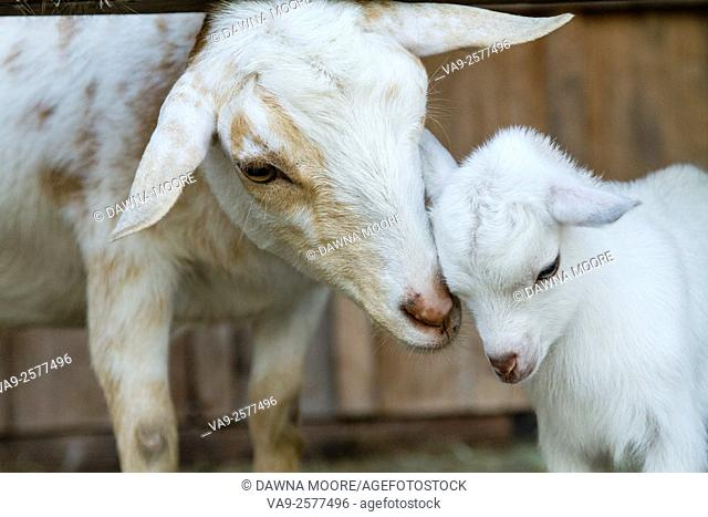 Nigerian Dwarf Goats (Capra aegagrus hircus) mother and kid nuzzling