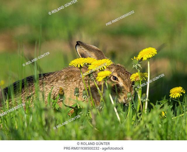 European Hare, Lepus europaeus / Feldhase, Lepus europaeus