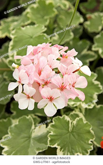 PELARGONIUM CHERIE MAID VARIEGATED