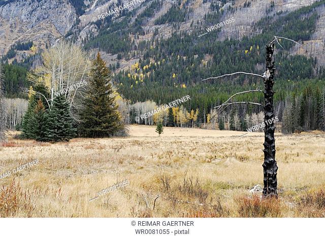 Burnt conifer in Fall field with Mount Ishbel in Sawback Range