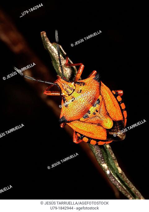 Bug shield  Carpocoris mediterraneus