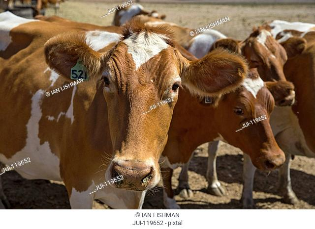 Herd Of Cattle In Farm Field In Swellendam Area Of Western Cape In South Africa