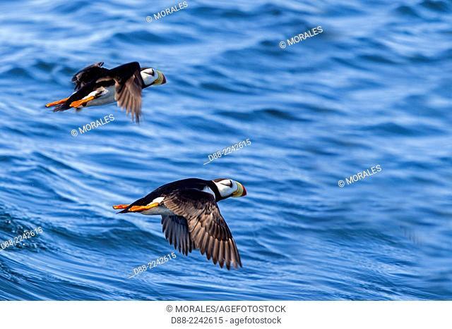 North America,United States,Alaska,Southcentral Alaska,Kenai Peninsula,Kenai Fjords National Park,Horned puffin (Fratercula corniculata),in flight