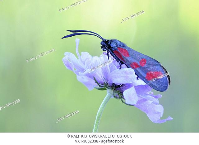Six-spot burnet ( Zygaena filipendulae ) resting on flowering scabious, typical behaviour, detailed side view, wildlife, Europe