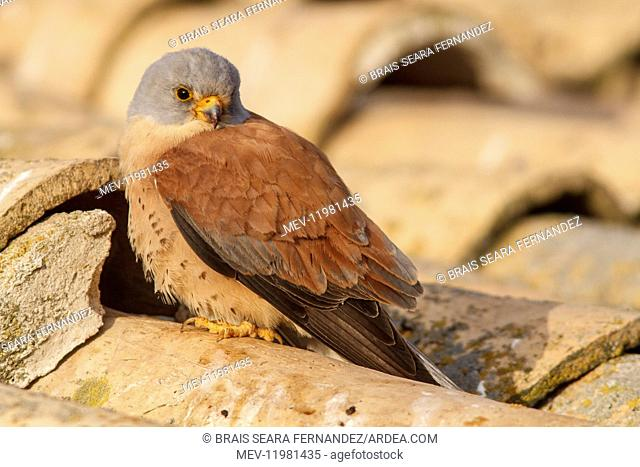 Lesser Kestrel male on roof Castile-La Mancha
