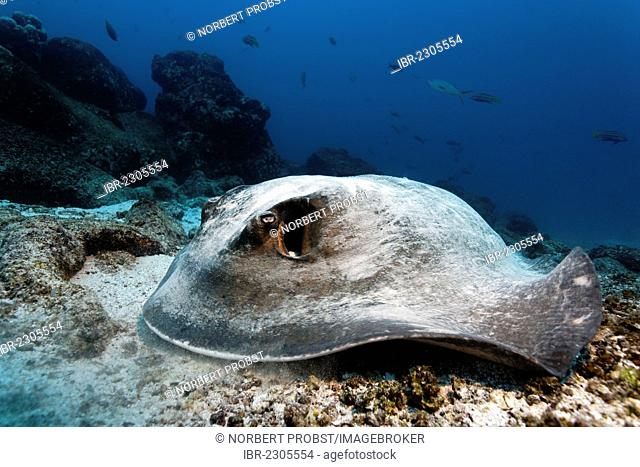 Diamond stingray (Dasyatis brevis), lying on sandy seafloor with coral rubble, Punta Cormorant, Floreana Island, Galápagos Islands