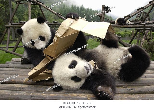 Giant Panda Ailuropoda melanoleuca, endangered, pair of young Pandas playing with cardboard box at the China Conservation and Research Center for the Giant...