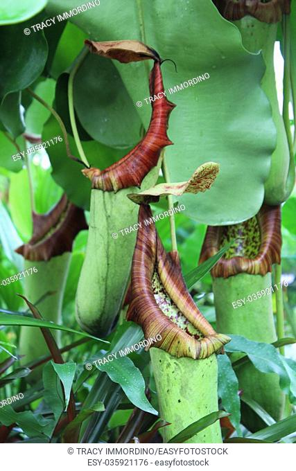 The tropical pitcher plant Nepenthes truncata, a carnivorous plant