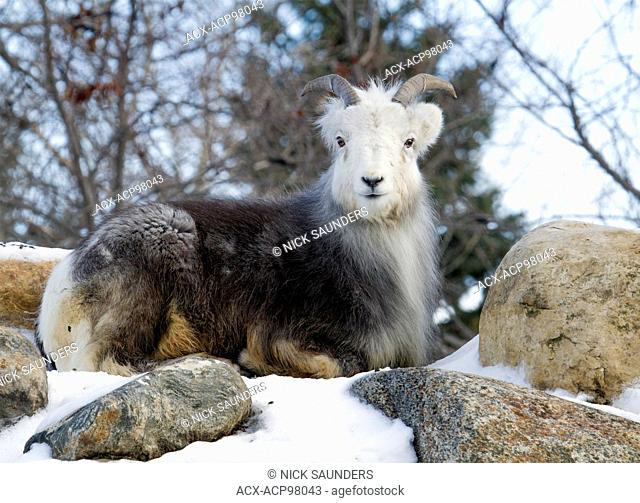 The mountain goat (Oreamnos americanus), also known as the Rocky Mountain goat, is a large hoofed mammal endemic to North America