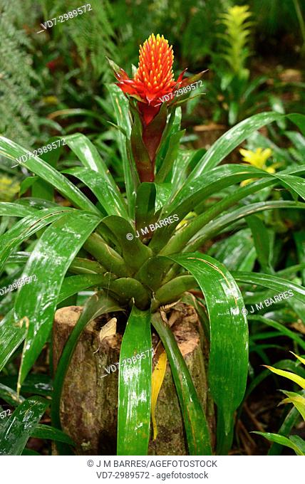 Scarlet star (Guzmania lingulata) is an epiphytic and perennial plant native to tropical America