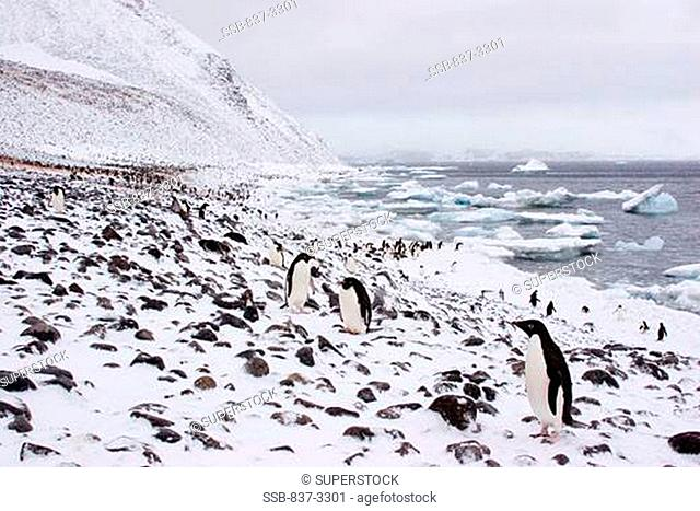 Colony of Adelie penguins Pygoscelis adeliae standing on snow covered beach, Antarctica