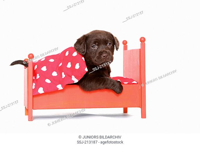 Labrador Retriever. Puppy (6 weeks old) lying in a red dolls bed. Studio picture against a white background. Germany