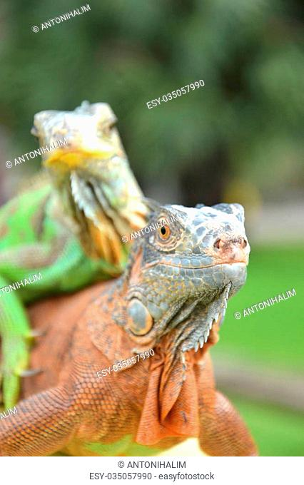 closeuo potrait of green and brown iguana