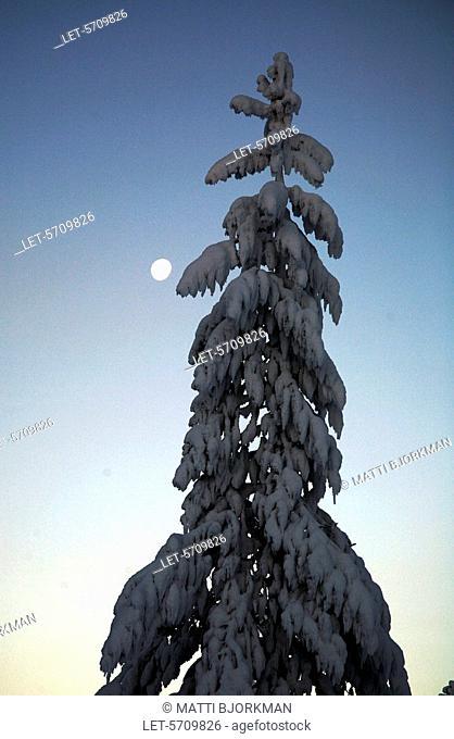 Snowy spruce in Saariselkä, Finnish Lapland. Ivalo, Finland