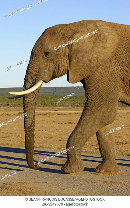 African bush elephant (Loxodonta africana), adult male, crossing a road, evening light, Addo Elephant National Park, Eastern Cape, South Africa, Africa