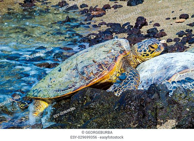 Close-up of the green sea turtles on the rocky volcanic beach in Hawaii